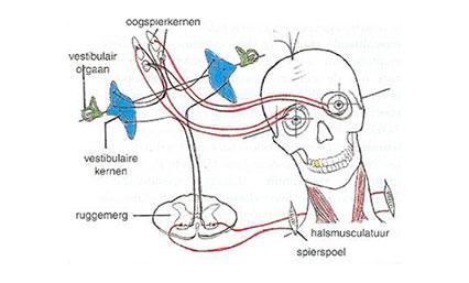 Vestibulaire revalidatie